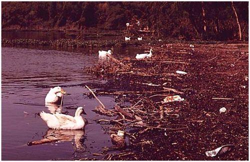 8white-rock_ducks_1972_EPA