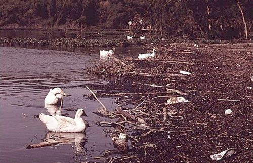 white-rock_ducks_1972_EPA