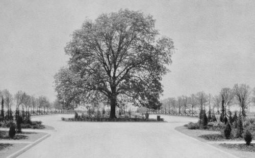 pecan-tree_big