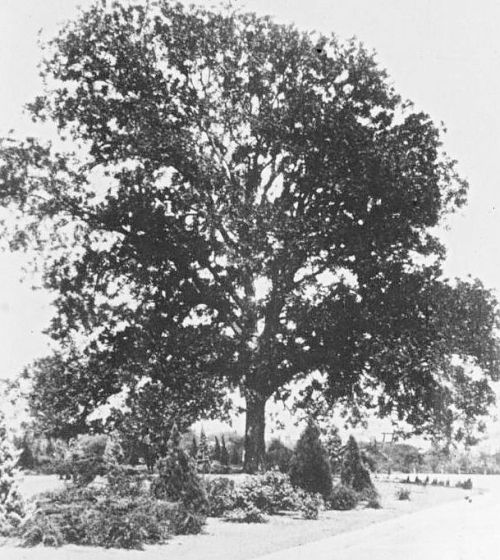 pecan-tree_degolyer-lib_c1909