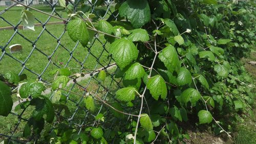 la-reunion-cemetery_grape-leaves_peb_052116